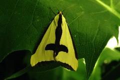 Clymene moth Haploa clymene IMG_2798