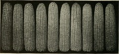 """Image from page 5 of """"A tip on Missouri corn"""" (1910)"""