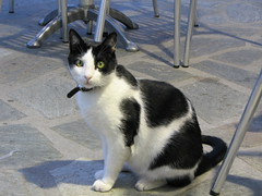 manx(0.0), animal(1.0), small to medium-sized cats(1.0), pet(1.0), mammal(1.0), european shorthair(1.0), snowshoe(1.0), cat(1.0), whiskers(1.0), domestic short-haired cat(1.0),