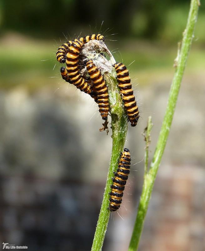 P1080170 - Cinnabar Moth Caterpillars, Cotswold Water Park