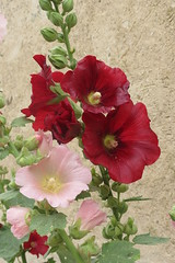 annual plant, flower, plant, malva, gladiolus, flora, petal,