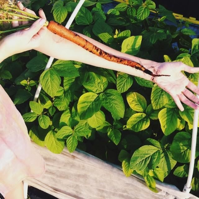 The size of these carrots are crazy!  #carrot #carrot #orange  #vegetablegarden #rooftop #NYC #Brooklyn #vegetables #healthyeating #garden #gardening #urbanfarming #urbangarden #containergarden #harvest  #gardenchat  #farmgirl #getgrowing #greenthumb #hom