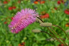 SANGUISORBA obtusa good form