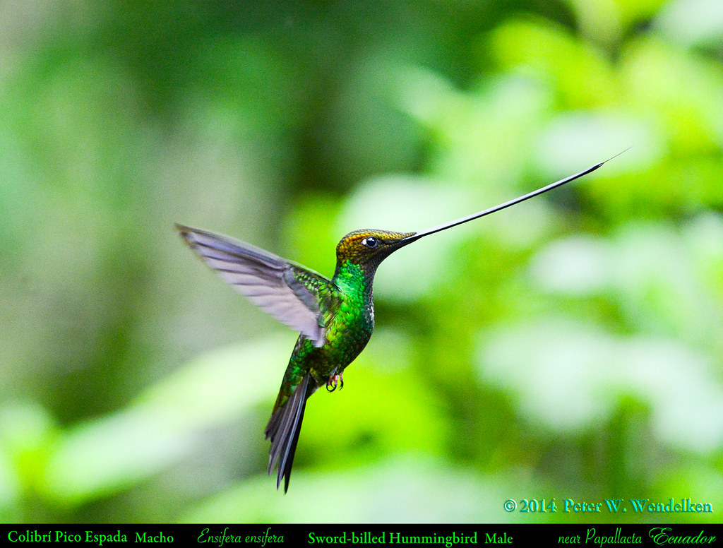 SWORD-BILLED HUMMINGBIRD Male Ensifera ensifera Hovering near Papallacta in Northern ECUADOR. Hummingbird Photo by Peter Wendelken.