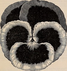 """Image from page 40 of """"Beckert's garden, field and flower seeds"""" (1904)"""