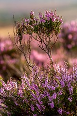 Heather at Burbage Edge