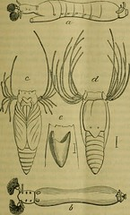 """Image from page 246 of """"The American entomologist and botanist"""" (1870)"""
