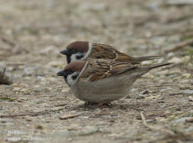 tree sparrow-2-2