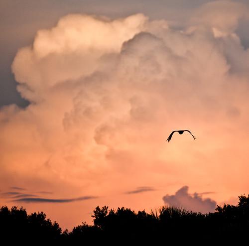 sunset orange cloud bird silhouette clouds warm afternoon florida fl vulture blackvulture coragypsatratus myakkariverstatepark