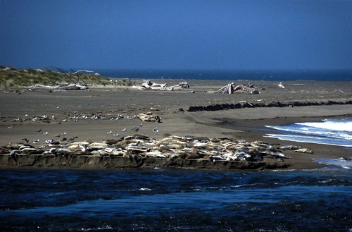 The neighborhood harbor seal colony