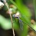 damsel DSC_3218 by hummingbirdzoo