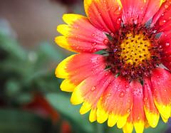 1099 Blanket Flower