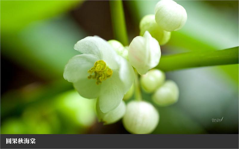 圓果秋海棠