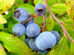 2014 09 06 Wild Blueberries