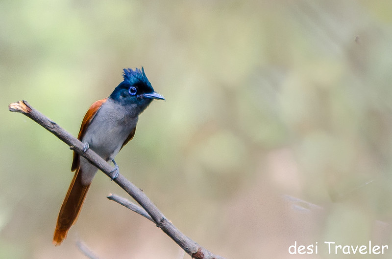 Asian Paradise Flycatcher juvenile Satpura National Park