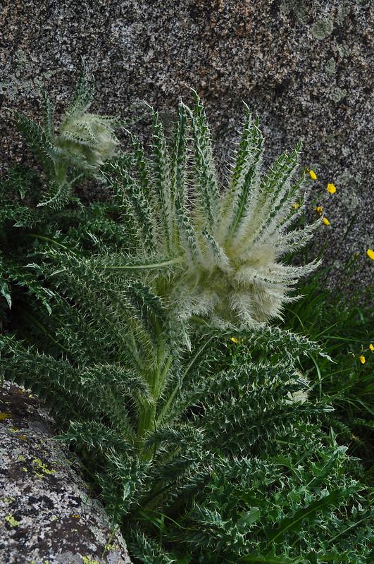 Cirsium scopulorum (1)