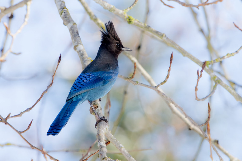 photo of stellar's jay
