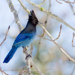 photo of a Stellers Jay