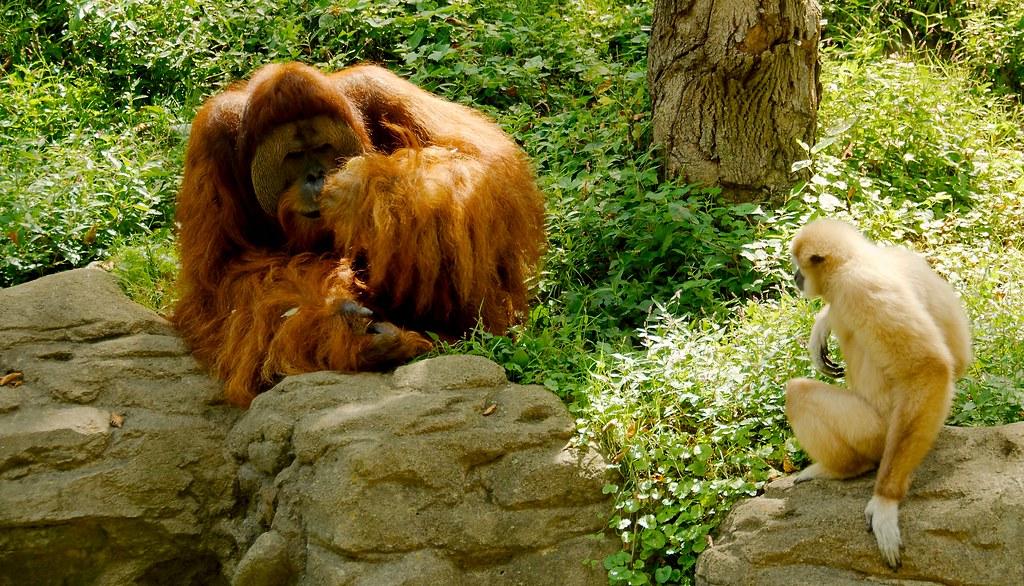 Gibbon and Orangutan_1