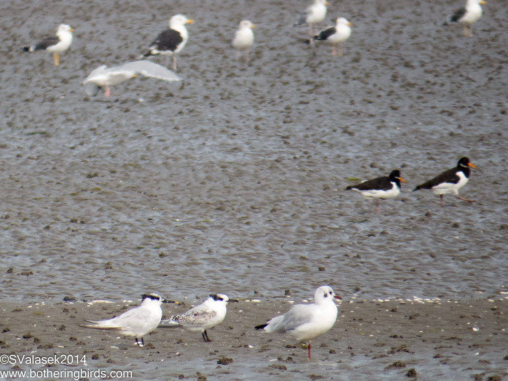 Sandwich Terns, Black-Headed Gulls, Oystercatchers, Greater and Lesser Black-Backed Gulls
