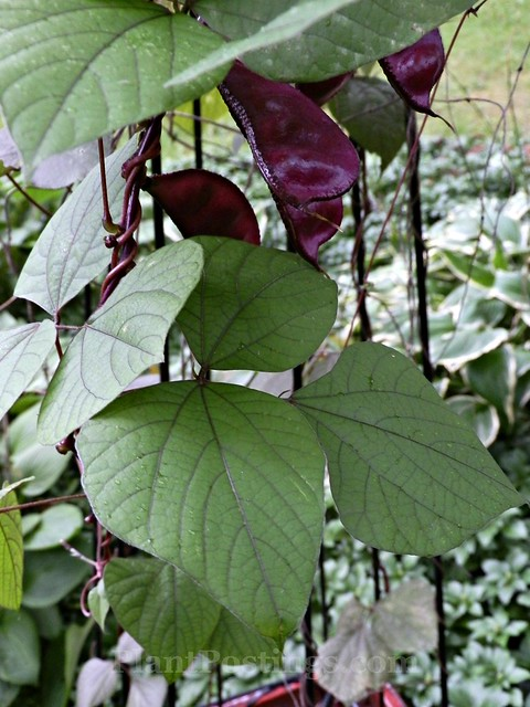 hyacinth bean foliage 1