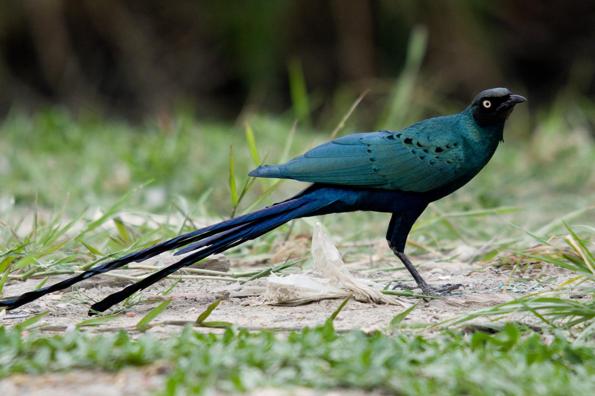 外來種,長尾麗椋鳥