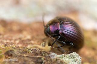 Darkling beetle (Amarygmus sp.) - DSC_3972