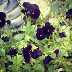 These Venus Black Viola will look pretty in orange pumpkins!