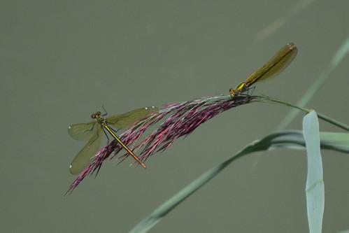 Calopteryx virgo ♀