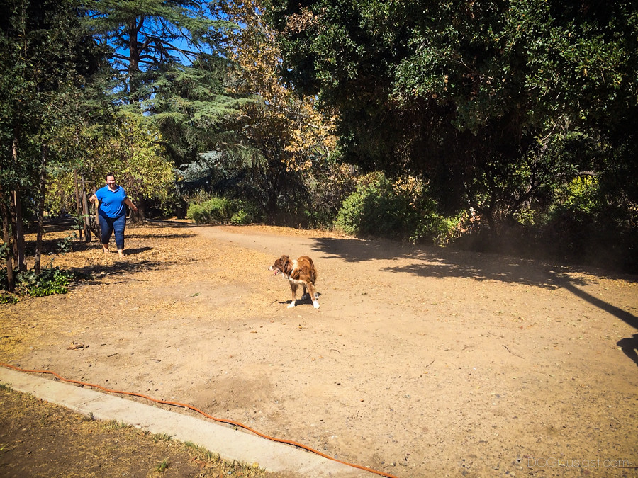 Border Collie at Bark in the Park San Jose 2014