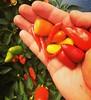 Tenho pimenta :hot_pepper::hot_pepper::hot_pepper: #pimenta #chilli #serranegra #saopaulo #jardim