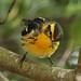 Blackburnian Warbler by Aaron Maizlish