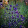 #eryngium in the evening #garden #seaholly #flowers