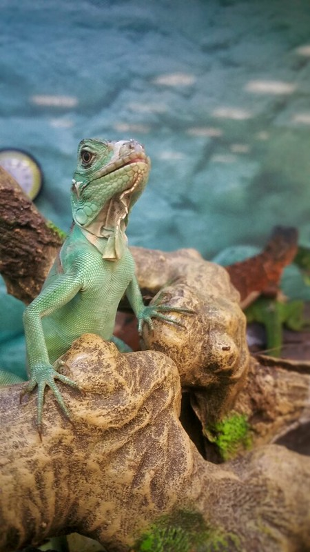 Presidential Pose by a lizard