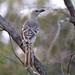 Great Bowerbird (Chlamydera nuchalis) by Graham Winterflood