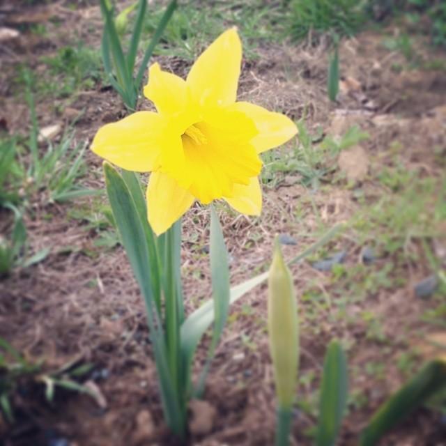Daffodil. Bulbs planted last fall.