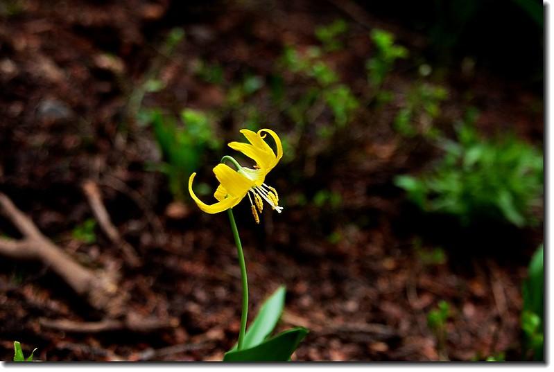 Glacier Lily 6
