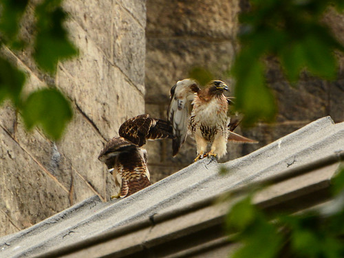 Cathedral Hawk and Fledgling #2 (2231)