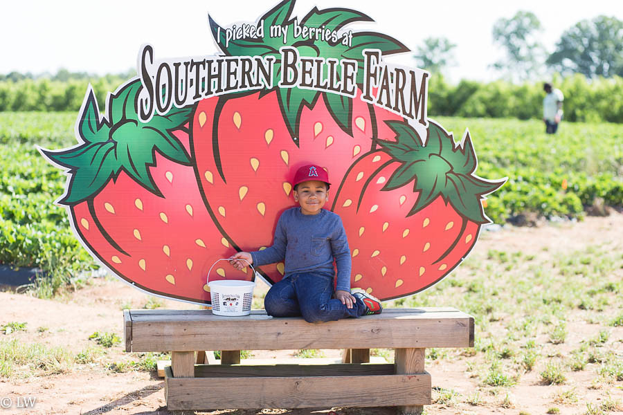 southern belle farm strawberries-25