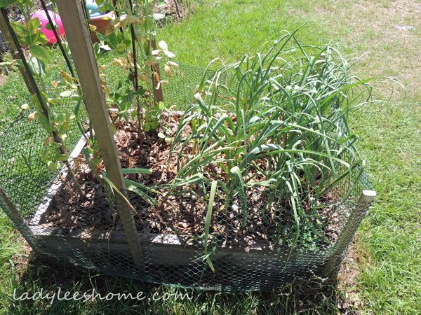 Harvesting-And-Curing-Garlic-16