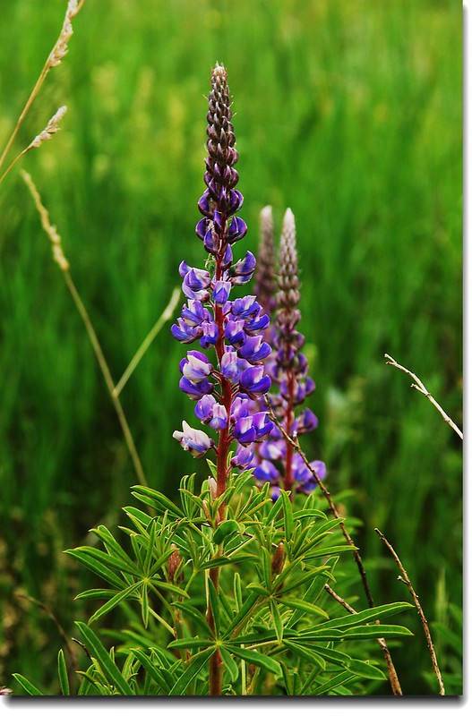 Silver Lupine 1