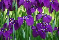 花菖蒲 / the irises