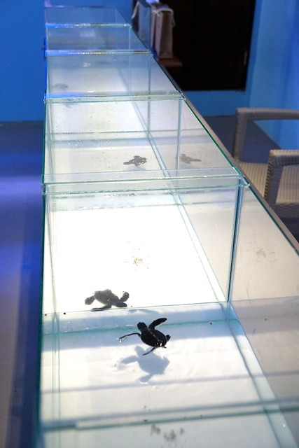 Ninja the turtle release - rebecca saw - gaya island resort review -001