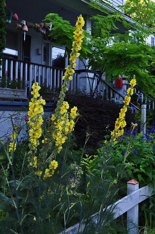 Verbascum 'Banana Custard' and Foeniculum vulgare 'Rubrum'