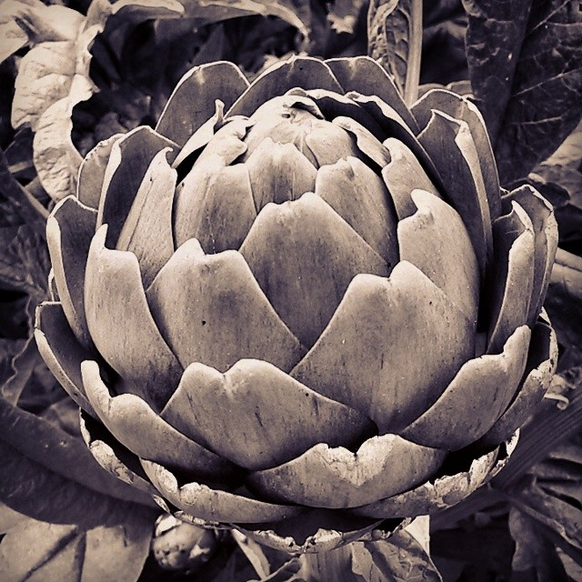 Allotment artichoke