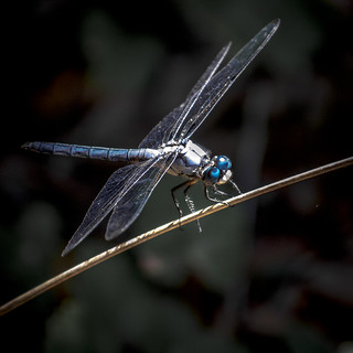 Honorable Mention - 'Blue Dragonfly' – Marjorie Casey