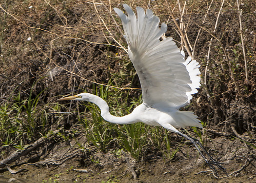 Great Egret - flying