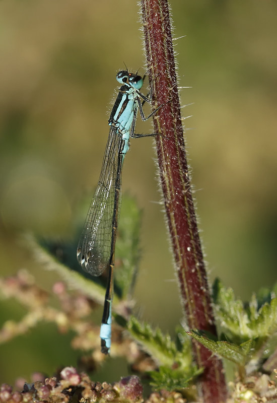 Blue-tailed Damselfly?