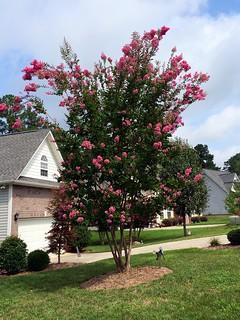 Neighbor's crepe myrtle tree