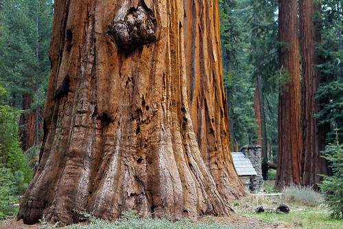 california park tree giant cabin woods grove national yosemite mariposa sequoia